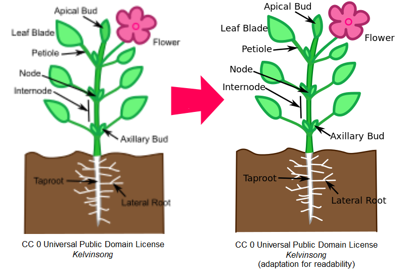 """Two images of a flowering plant with pieces labeled: the first is fuzzy and out of focused, with the words """"CC 0 Universal Public Domain License, Kelvinsong"""" beneath it. The second is a copy of the first with cleaner lines and clearer labels and the words """"CC 0 Universal Public Domain License, Kelvinsong (adapted for readability) beneath."""