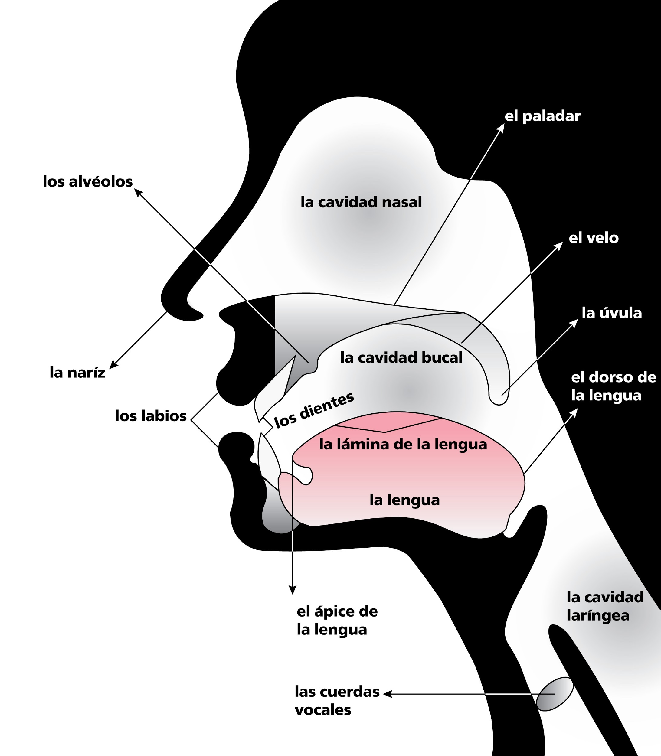 anatomical sketch of nose and throat, labeled in Spanish