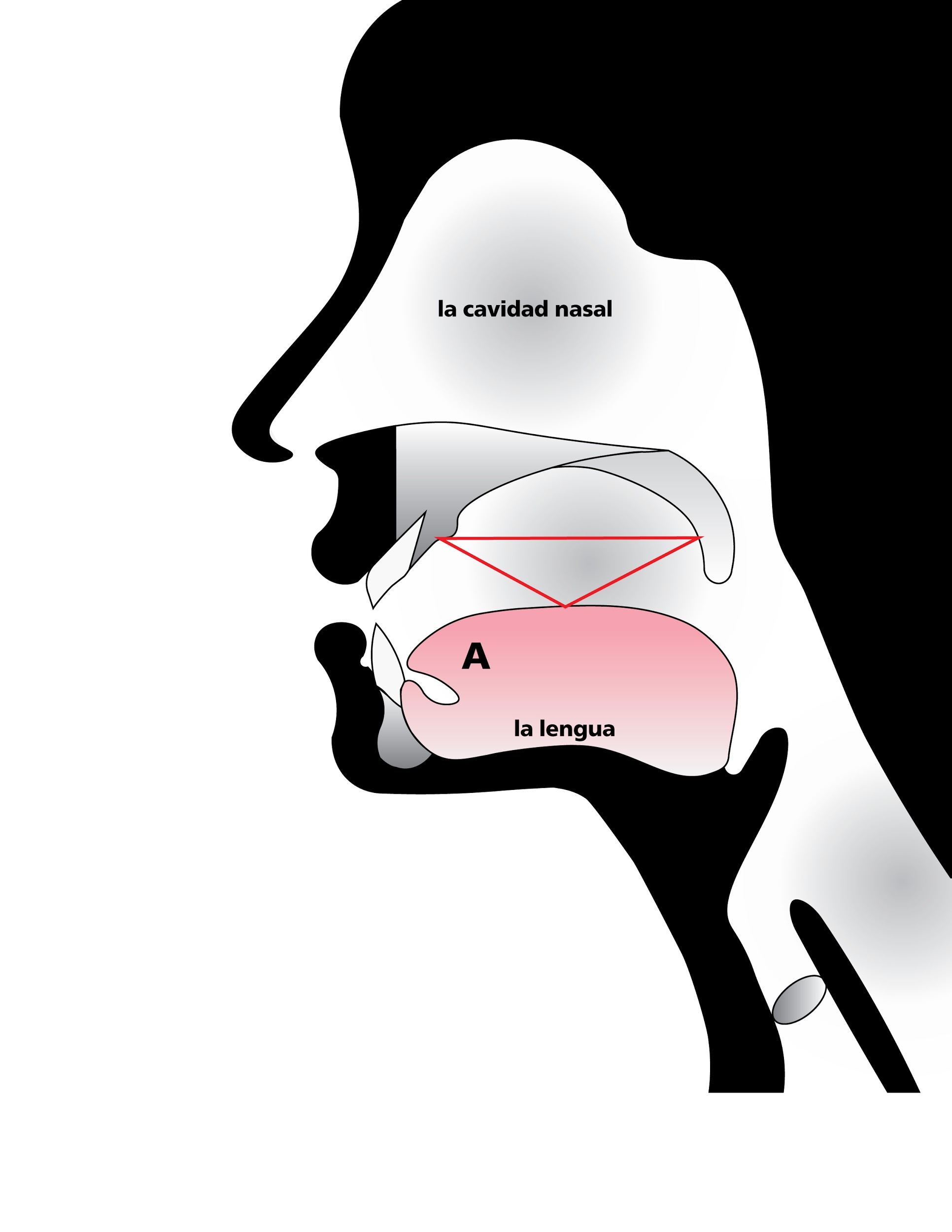 Anatomical sketch of nasal cavity emphasizing space in roof of mouth, in Spanish
