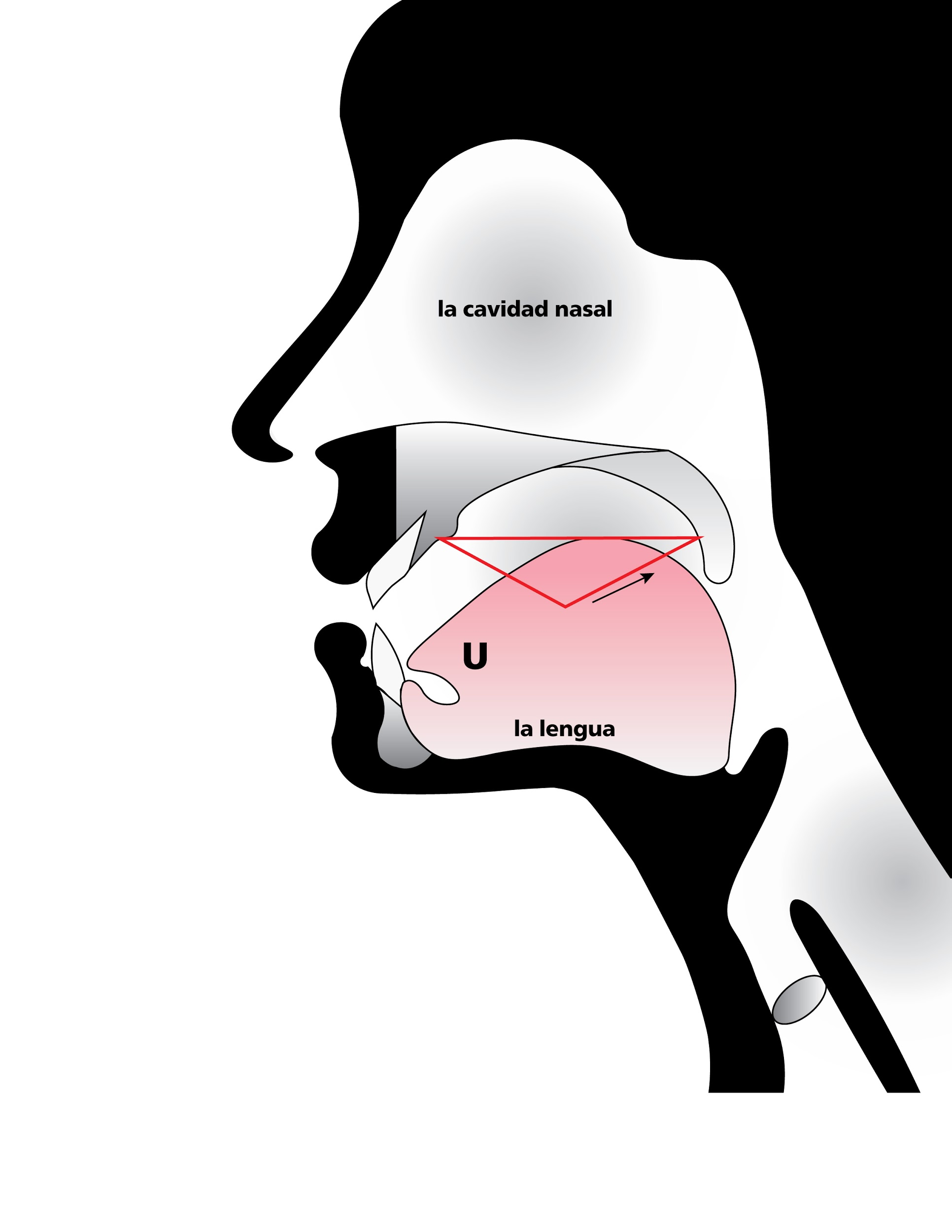Anatomical sketch of head while speaking, emphasizing space of roof of mouth when tongue pulled back in mouth, in Spanish